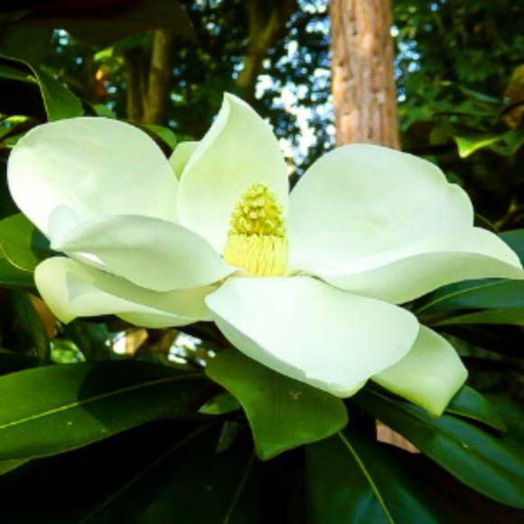 magnolias4ever